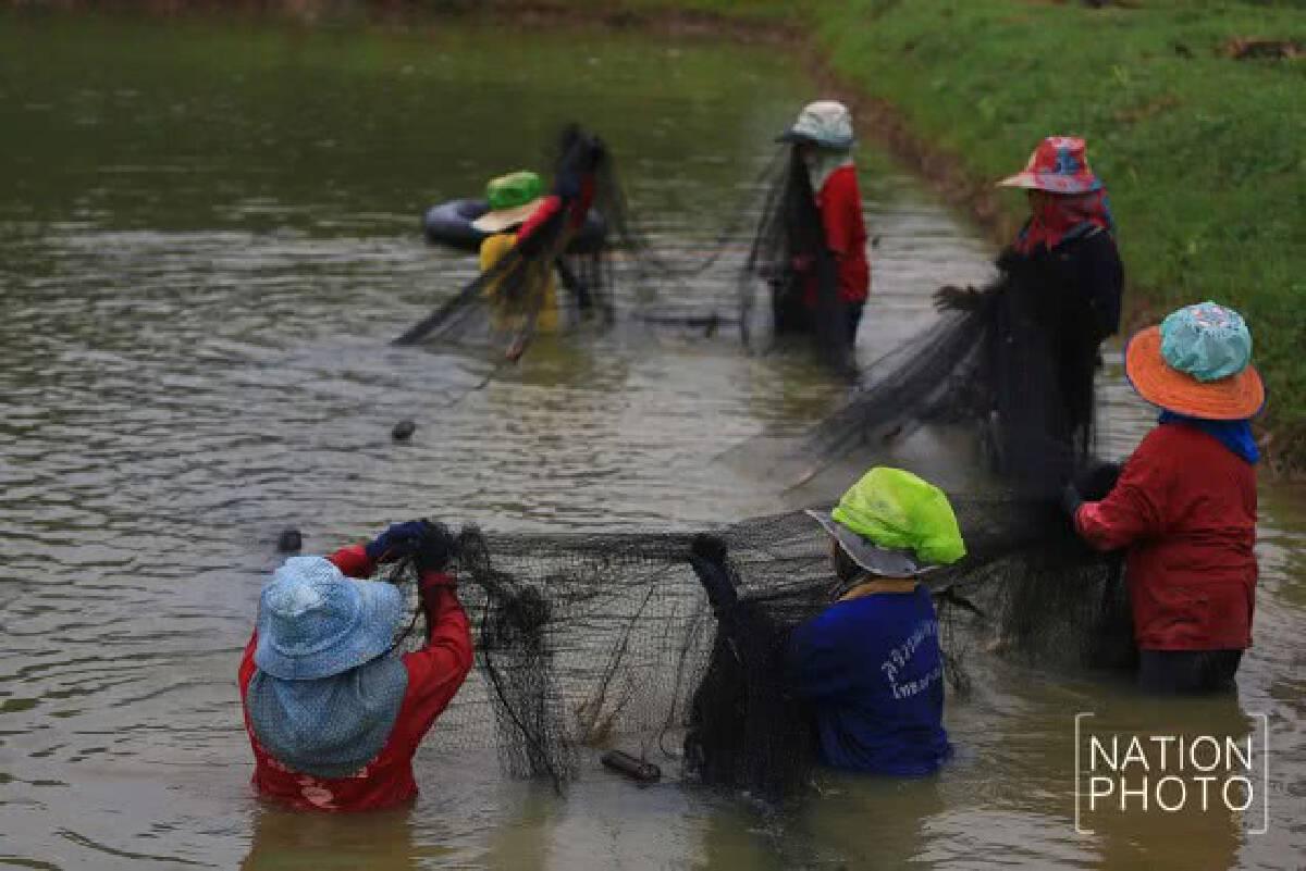 ชีวิตต้องสู้! เกษตรกาฬสินธุ์ มาเลี้ยงกุ้งก้ามกราม สร้างรายได้ตลอดปี