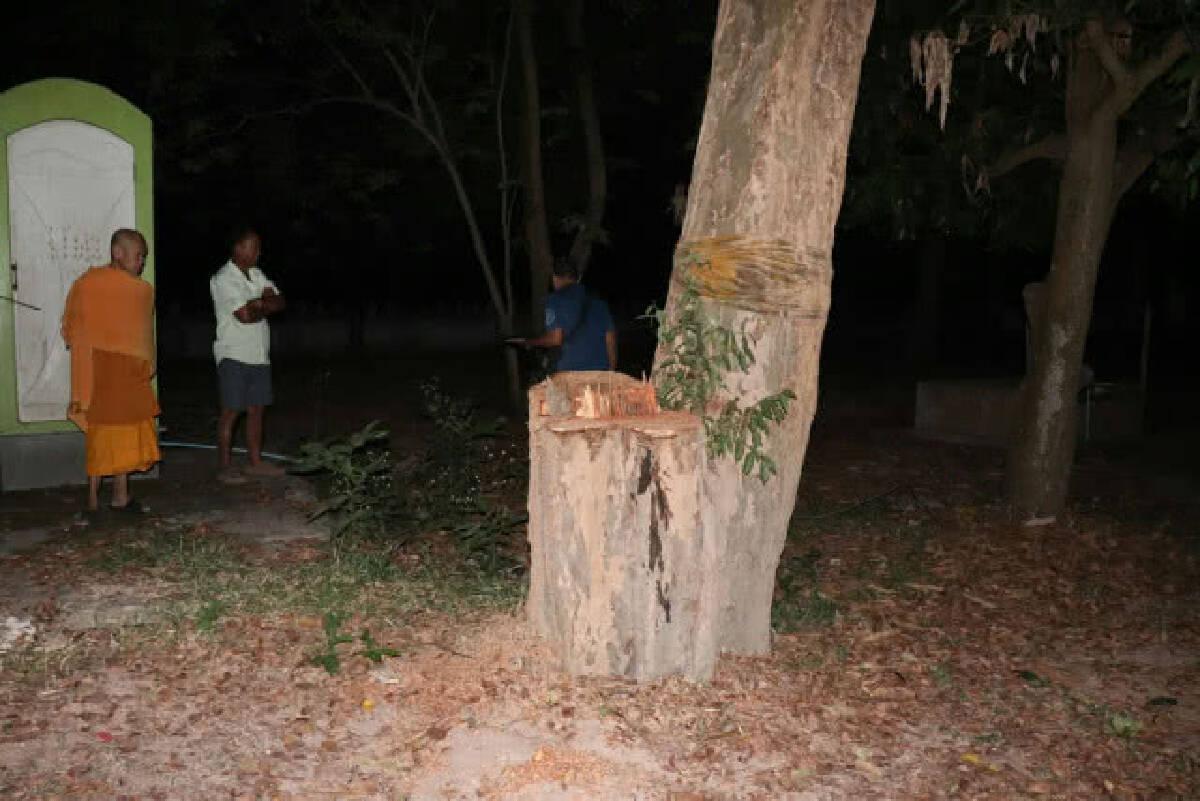 แก๊งมอดไม้ย่องตัดต้นพะยูงแฝดในวัดหนองสามขา กลางดึก