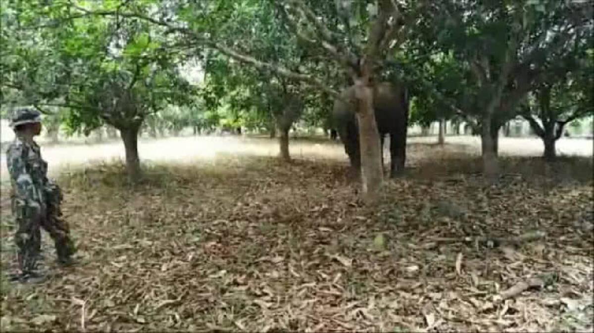 """""""พี่ใหญ่ สลักพระ"""" ช้างป่าตาบอด วนเวียนในสวนชาวบ้าน"""