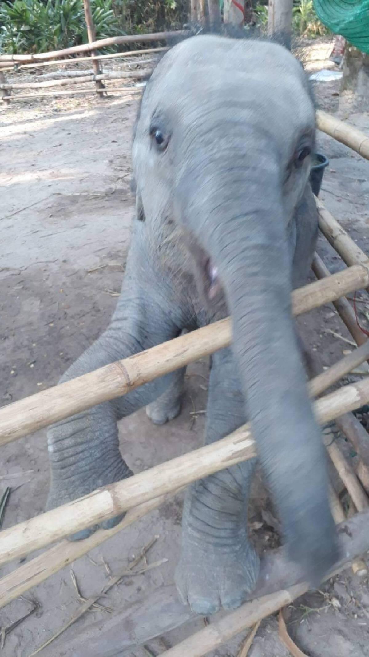ลูกช้าง ชบาแก้ว มีอาการตาข้างซ้ายบวมแดง