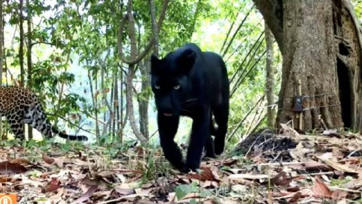 """ตามหาจ้าวป่า กลับเจอ """"เสือดำ-เสือดาว"""" แย่งซีนในผืนป่าคลองลาน"""