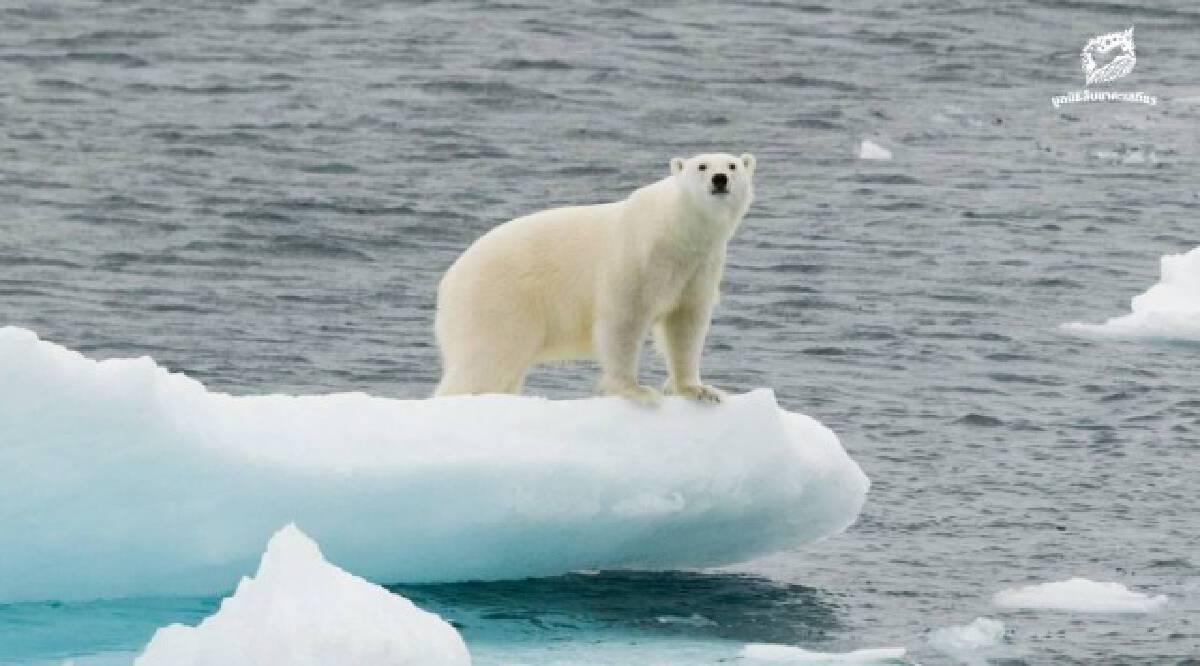"""นักวิทยาศาสตร์ คาด """"หมีขั้วโลก"""" จะสูญพันธุ์ 80 ปีข้างหน้า จากโลกร้อน"""