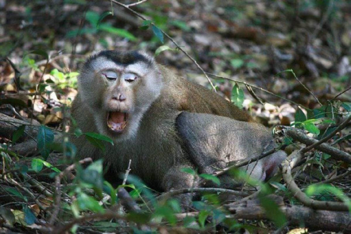 """ไม่ไหวจะเคลีย! """"ลิงกังขาโจ๋ ประจำเขาใหญ่"""" โดนออกหมายจับ พร้อมถูกระดมทีมไล่ล่ามาดำเนินคดี"""