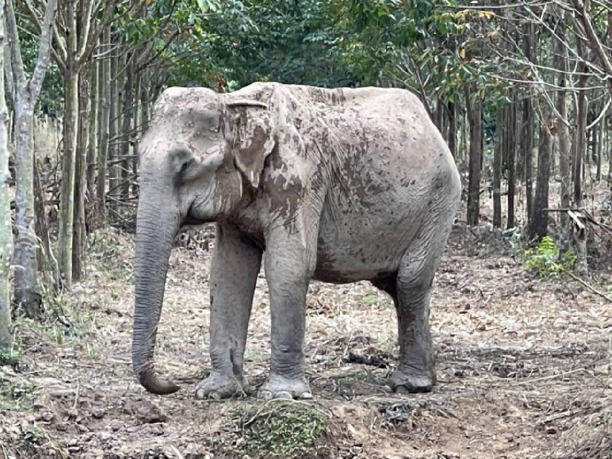"""""""เป็นปลื้ม"""" ช้างป่าชราภาพ ป่ารอยต่อห้าจังหวัด กลายเป็นนางงามมิตรภาพ"""