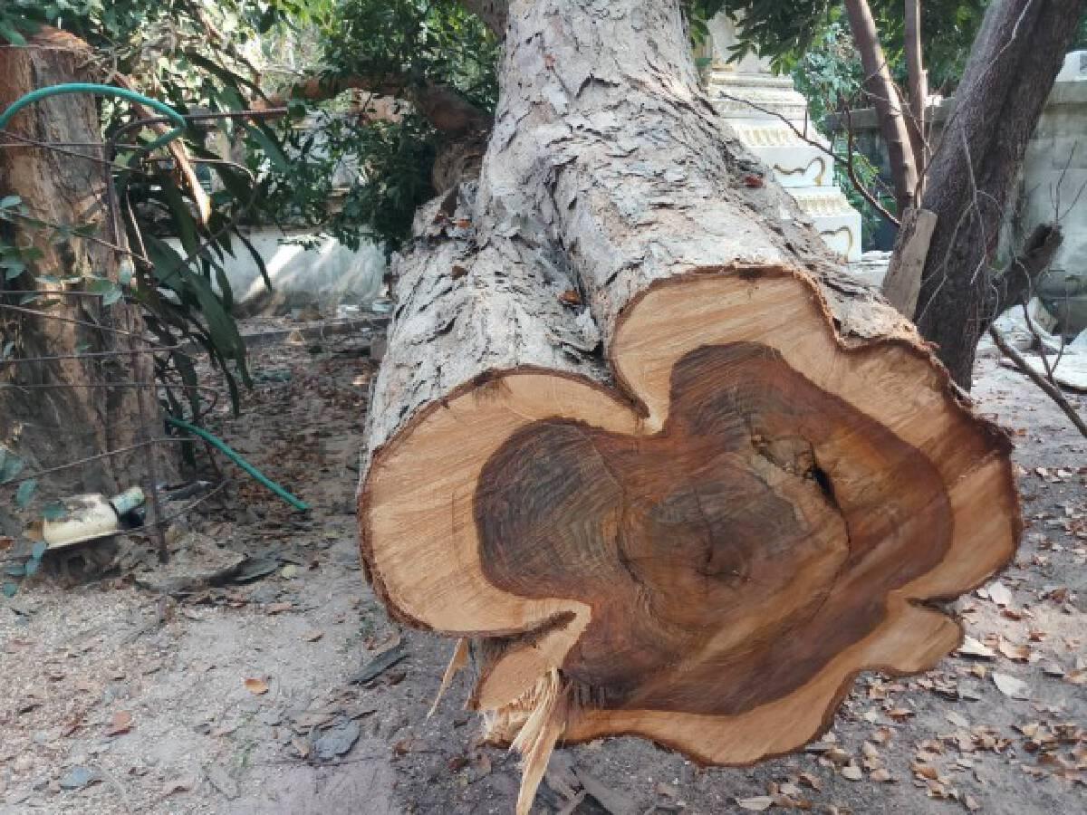 ไม่กลัวบาป แก๊งมอดไม้ลอบโค่นพะยูงอายุ100ปีในวัดกลางดึก