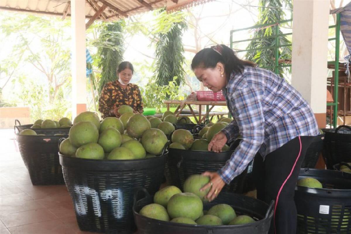 พิษโควิด-ชาวสวนส้มโอพิจิตรอ่วมหนัก