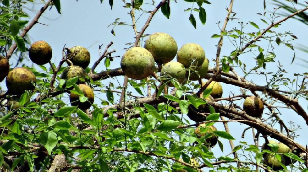 """ทำความรู้จัก ประโยชน์ของ """"มะตูม"""" ผลไม้ที่มีสรรพคุณทางยา"""