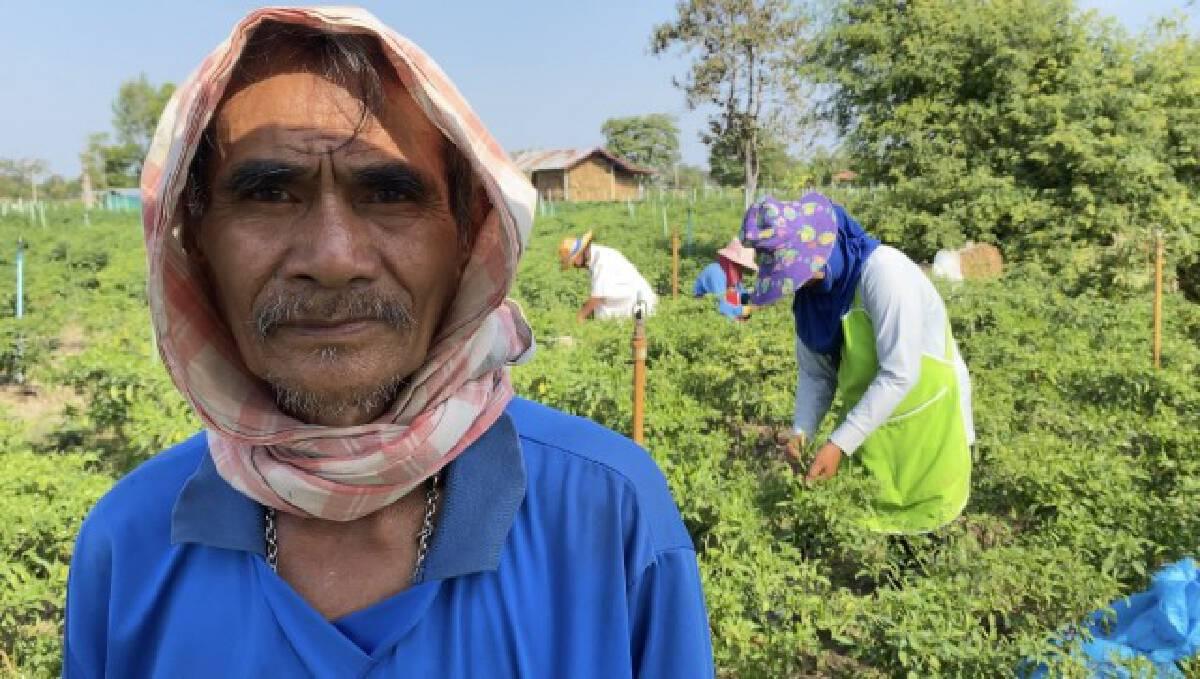 พริกราคาดีเกษตรกรยิ้มออก ชดเชยปีที่แล้วแค่กิโลละ12บาท