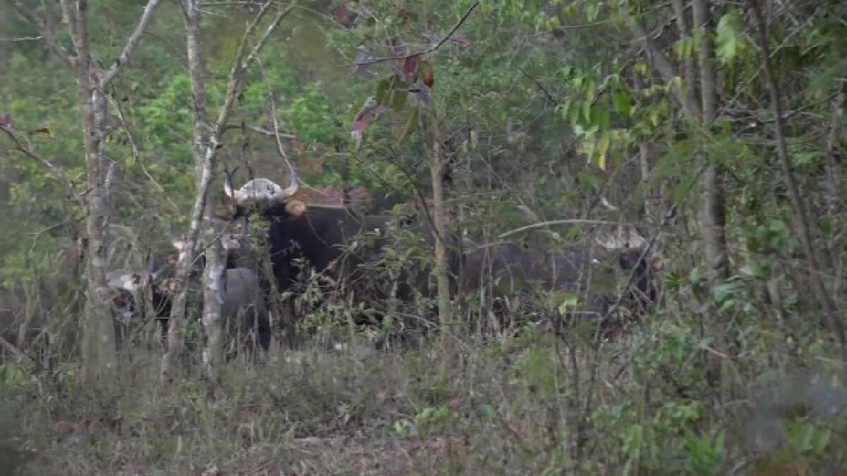เจ้าหน้าที่อุทยานแห่งชาติเขาใหญ่ทำโป่งเทียมให้สัตว์ป่า