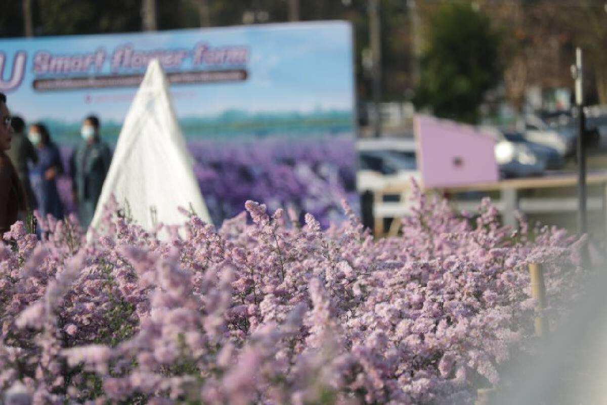 สวนดอกไม้สมาร์ทฟลาวเวอร์ รวมความสวยงามและงานวิจัยไว้ด้วยกัน