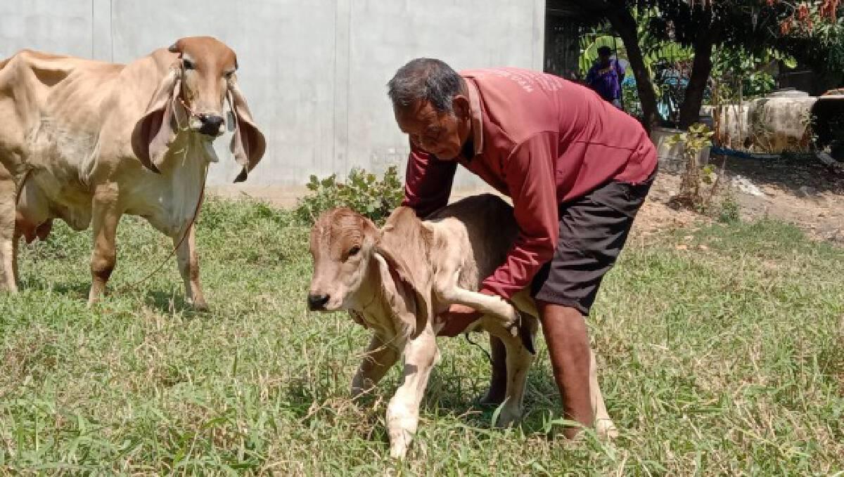 ฮือฮา!แม่วัวออกลูก 5 ขา ชาวบ้านเชื่อเป็นลูกวัวนำโชค