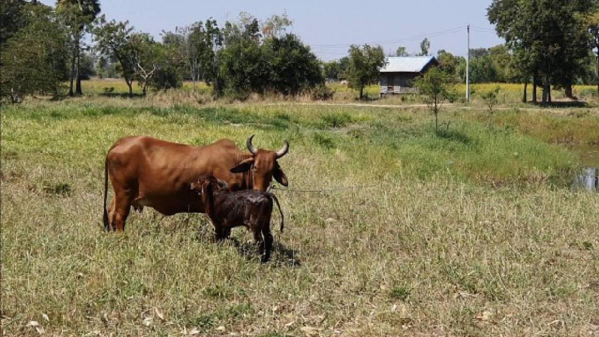 ระทึก!ลูกวัวตกท่อ กู้ภัยเร่งช่วยเหลือใช้เวลากว่าชั่วโมง