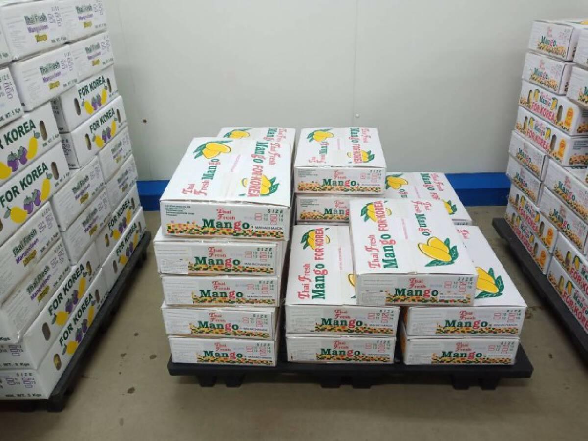 ไทยเฮ!! เกาหลีใต้ ไฟเขียวไทยส่งออกมะม่วงมหาชนกครั้งแรกของประเทศ