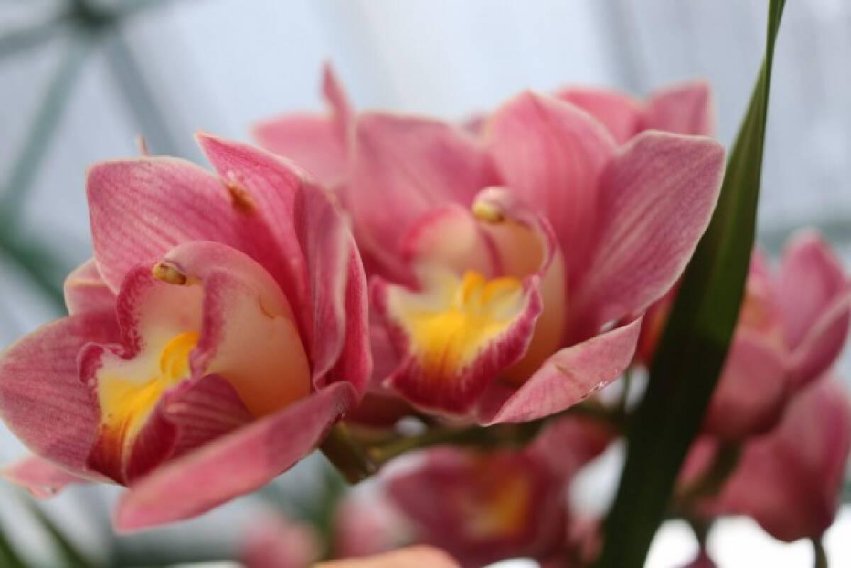 orchid กล้วยไม้