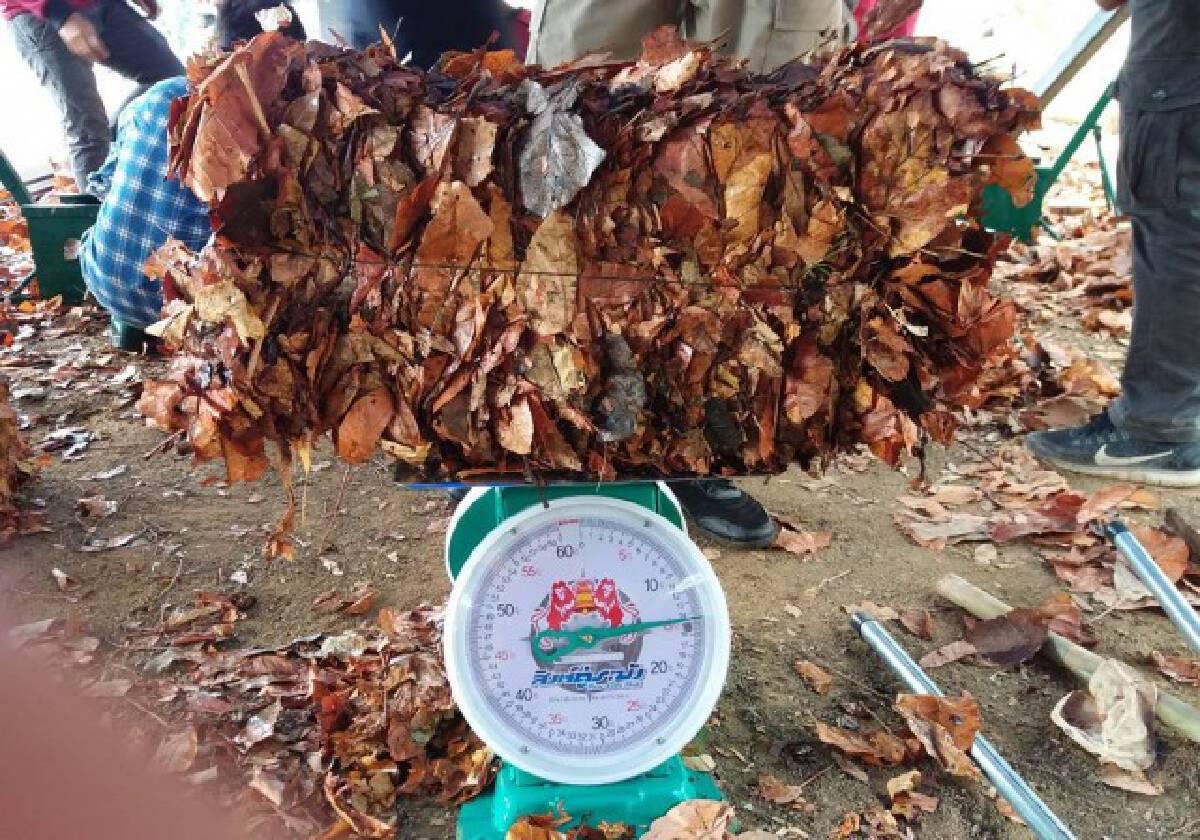รับซื้อใบไม้แห้งนำร่อง 34 หมู่บ้านลดหมอกควัน