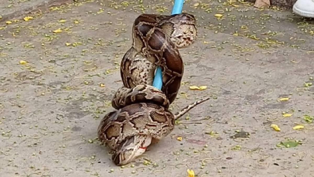 งูเหลือมเลื้อยเข้าหน่วยเลือกตั้ง เชื่อเป็นฤกษ์ดี ให้โชค