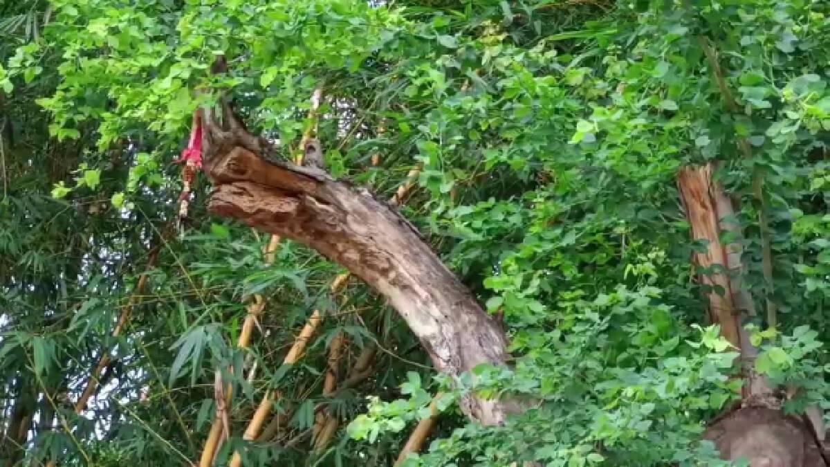 ฮือฮา ต้นมะขามเทศอายุ20ปี แตกกิ่งคล้ายหัวพญานาค