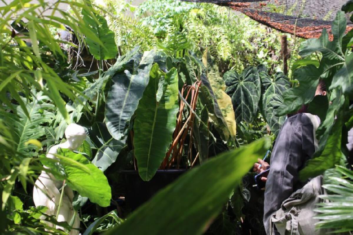 พิษโควิด!หันขายต้นฟิโลเดนดรอนก้านส้มด่างหลักล้าน
