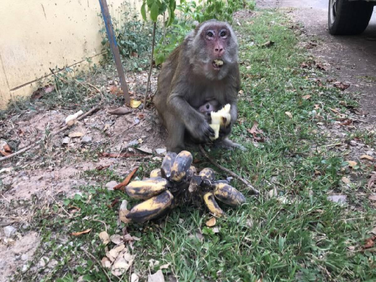 ฝูงลิงพิจิตรยังอยู่ครบไม่ได้ถูกส่งขายต่างประเทศ