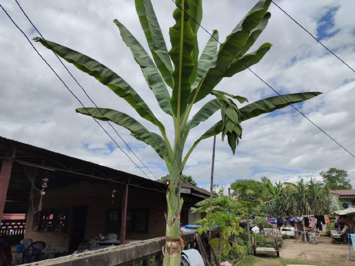 ชาวบ้านฮือฮาต้นกล้วยออกหัวปลีสุดแปลก