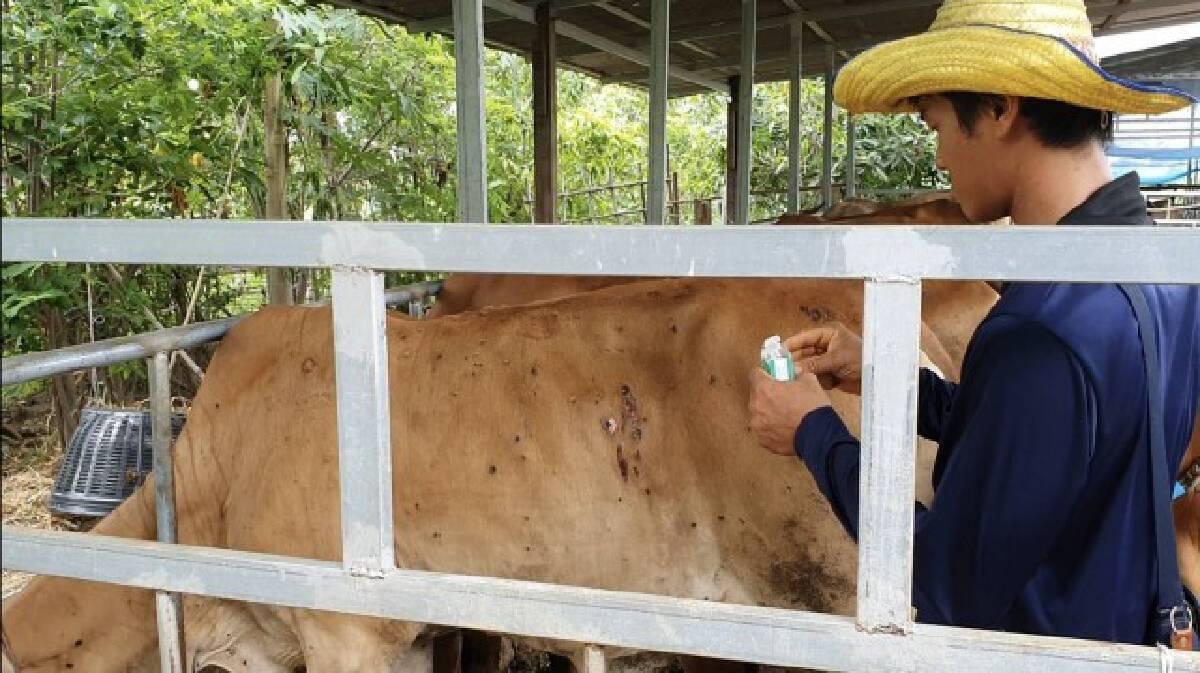 เกษตรกรสู้ลัมปีสกิน วัวป่วยเริ่มหายแล้ว