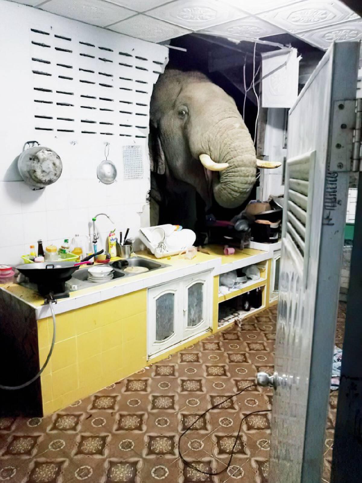 ช้างป่าละอูหิวโซบุกพังครัวบ้านค้นหาอาหารกิน