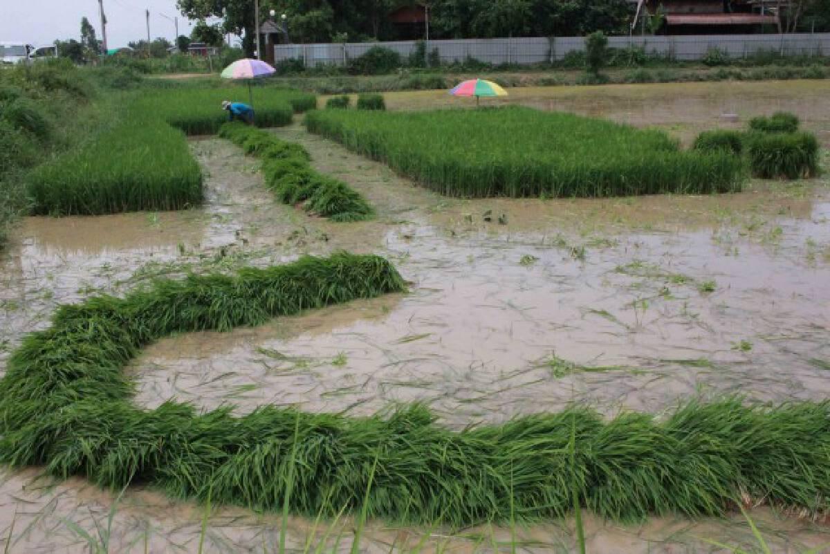 เกษตรกรเพาะพันธุ์ต้นกล้าขายรายได้งามดีกว่าขายเมล็ดข้าวเปลือก