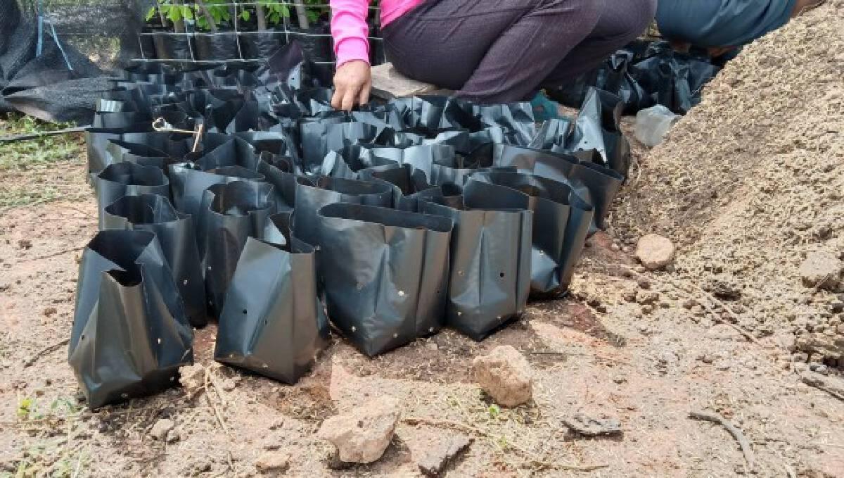 ชาวสวนโคราช โดนพิษโควิด เร่งตอนกิ่งมะขามเทศส่งขาย
