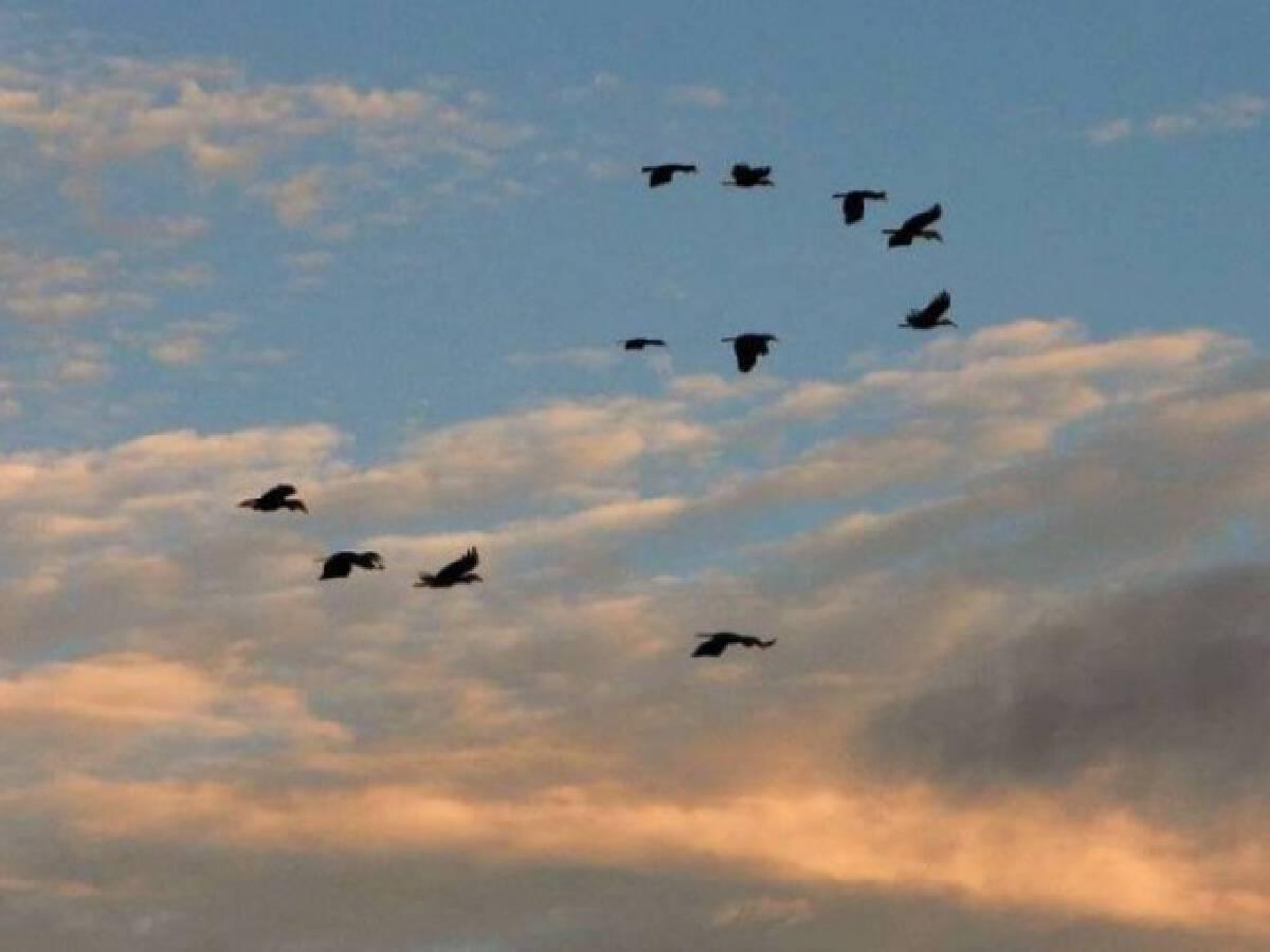 """พบ """"นกเงือกกรามช้างปากเรียบ"""" ฝูงใหญ่ในรอบ 20 ปี"""