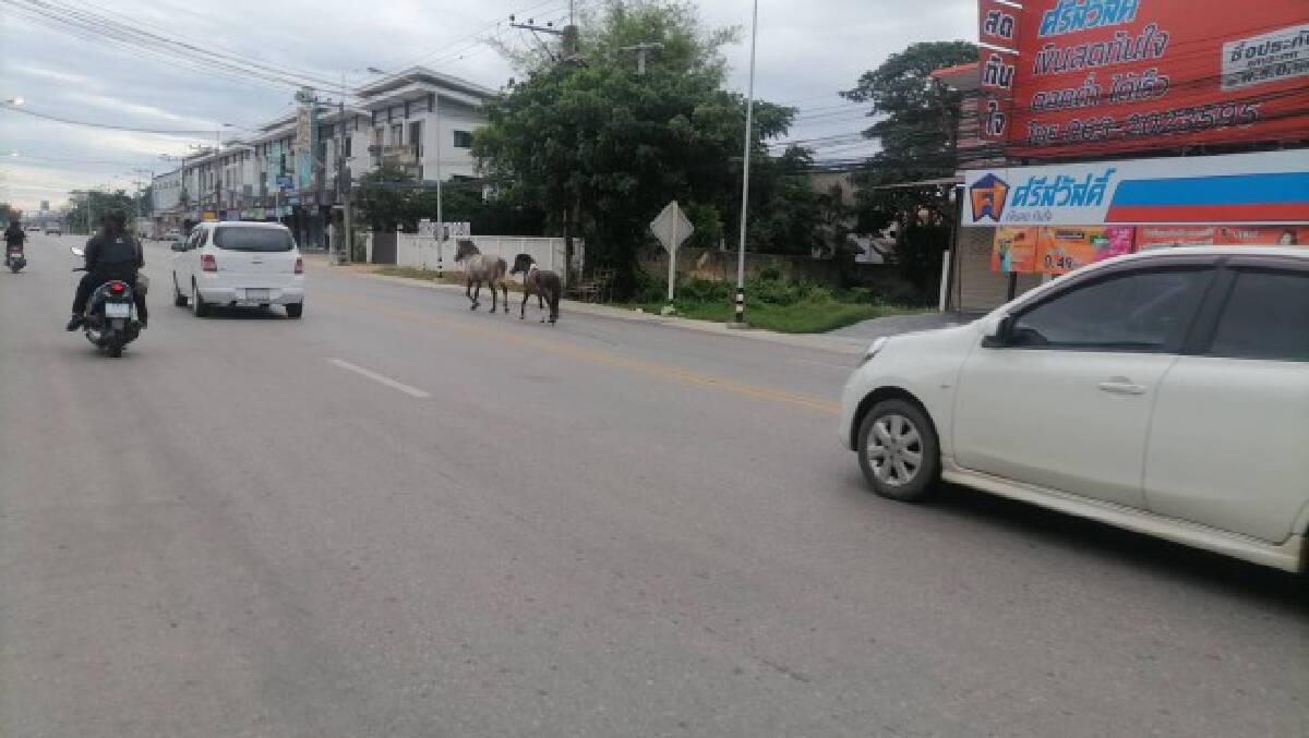 """""""ม้า""""หลุดวิ่งวุ่นกลางถนน"""
