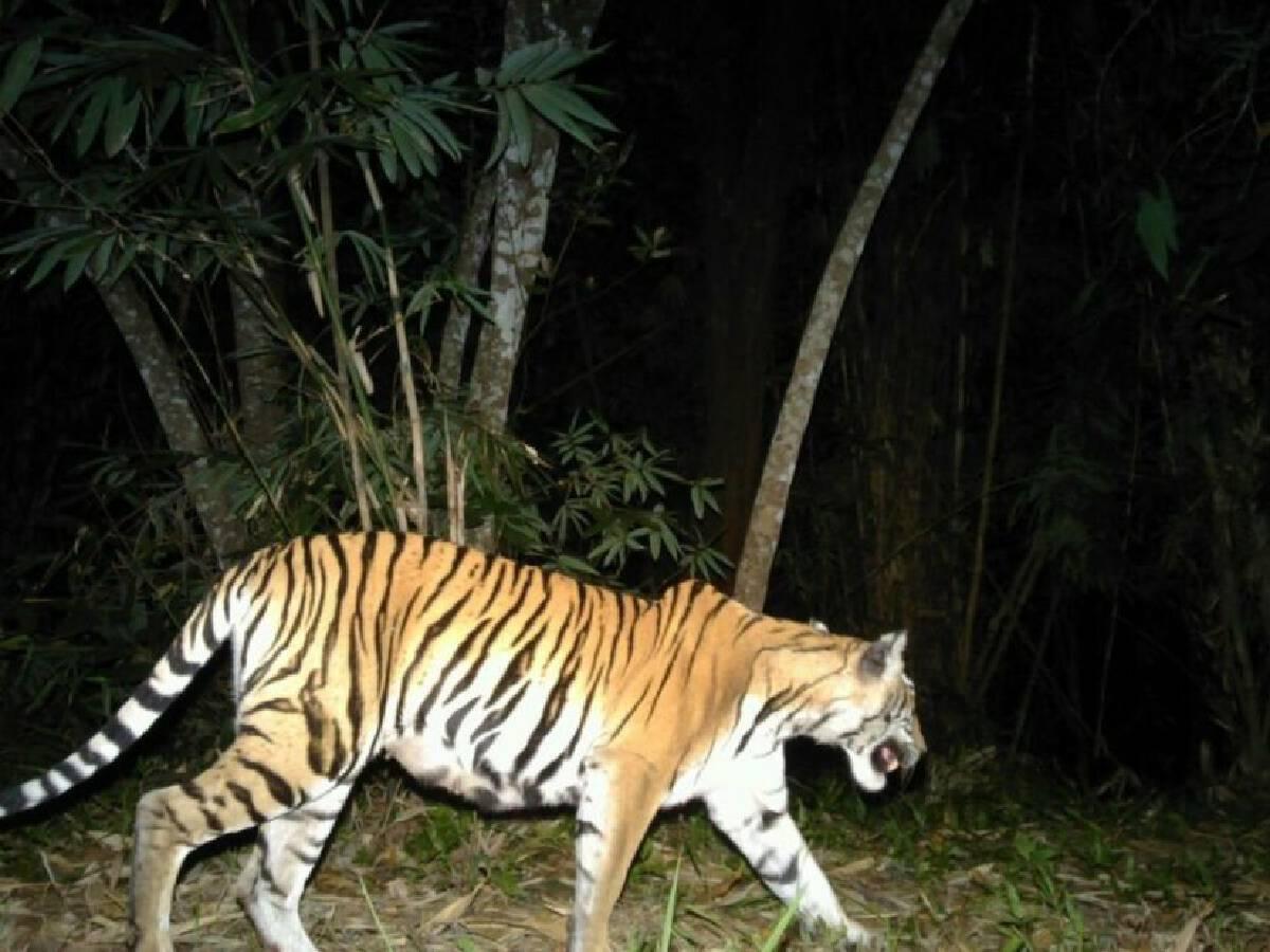 ภาพถ่ายเสือโคร่งในผืนป่ากาญจบุรี