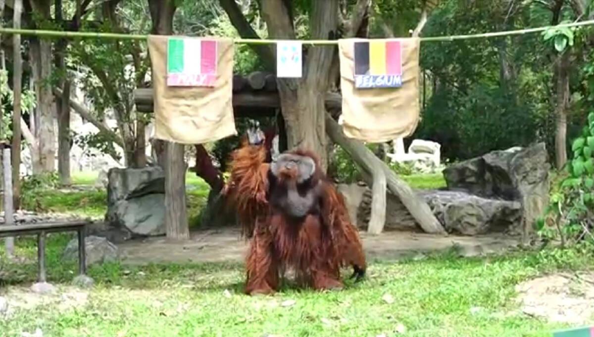 """""""ลุงแซม"""" อุรังอุตังหนึ่งเดียวในสวนสัตว์เชียงใหม่ทายอิตาลีเสมอเบลเยียม"""
