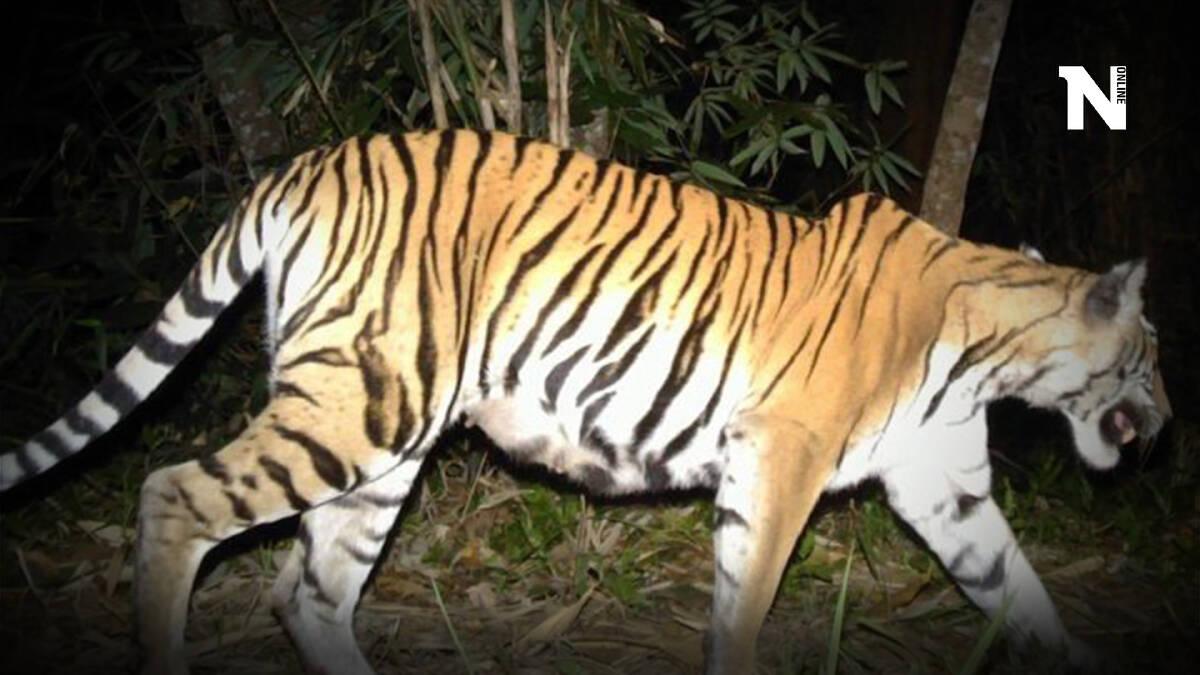 """รู้จัก """"วันเสือโคร่งโลก"""" หรือ """"วันอนุรักษ์เสือโลก"""" (Global Tiger Day)"""