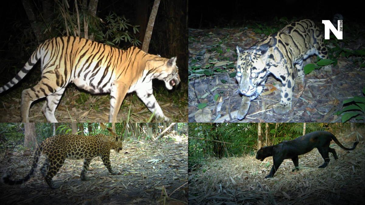 """""""เสือโคร่ง"""" ในป่าเพิ่มเกือบ 20 ตัว เดินหน้ารักษาถิ่นที่อยู่อาศัย"""
