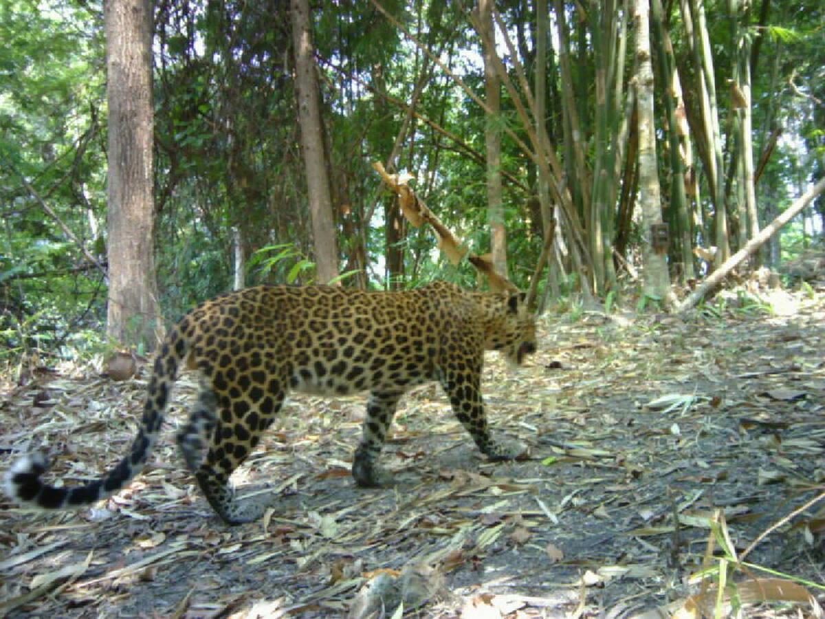 ภาพถ่ายเสือดาวในผืนป่ากาญจนบุรี