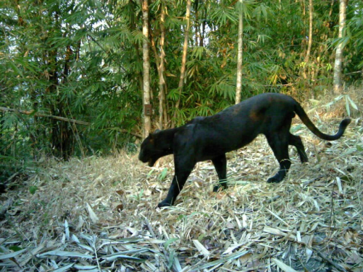ภาพถ่ายเสือดำในผืนป่ากาญจนบุรี
