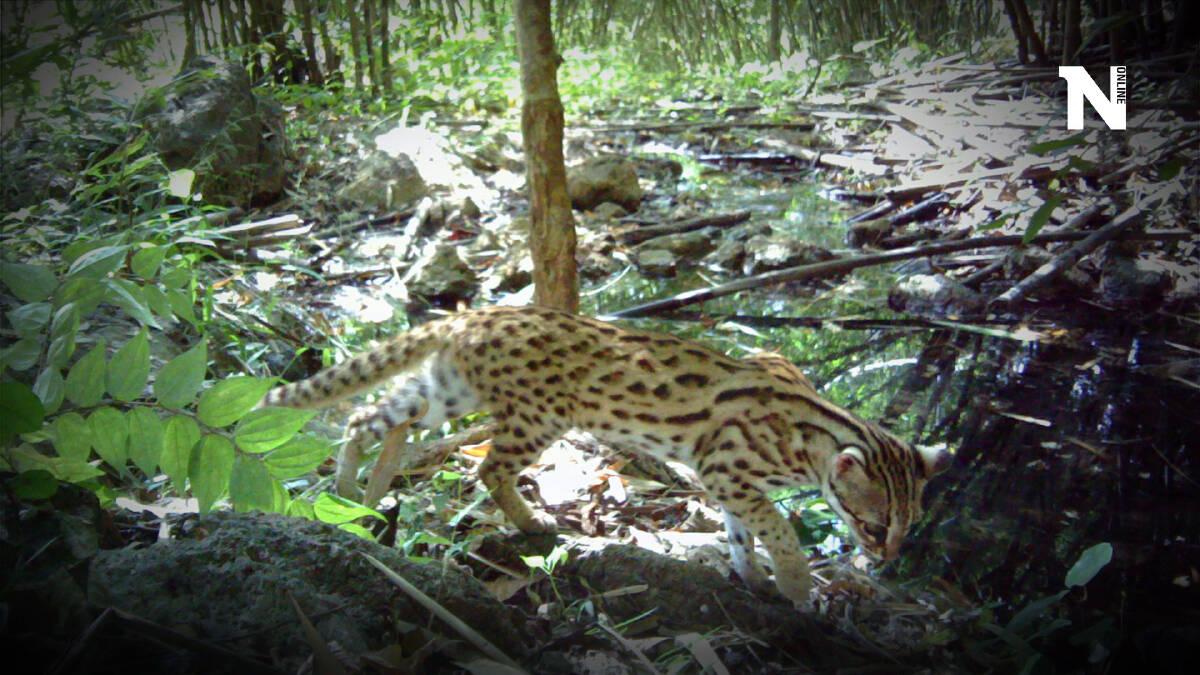 """อุทยานฯ เปิดภาพ """"เสือโคร่ง"""" จากกล้องดักถ่าย ในวันอนุรักษ์เสือโลก"""