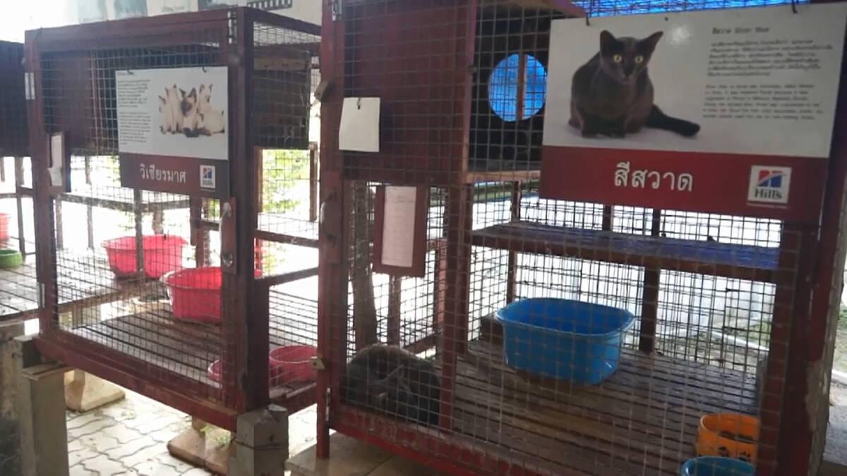 โควิดกระทบศูนย์อนุรักษ์แมวไทยโบราณทายาท