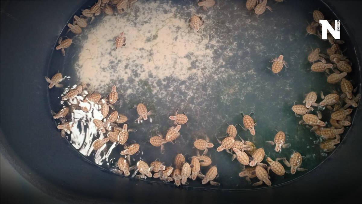 """""""เต่ากระ"""" ฟักตัวเพิ่ม 245 ตัว พบแม่เต่าวางไข่ใหม่รังที่ 19 จำนวน 134 ฟอง"""