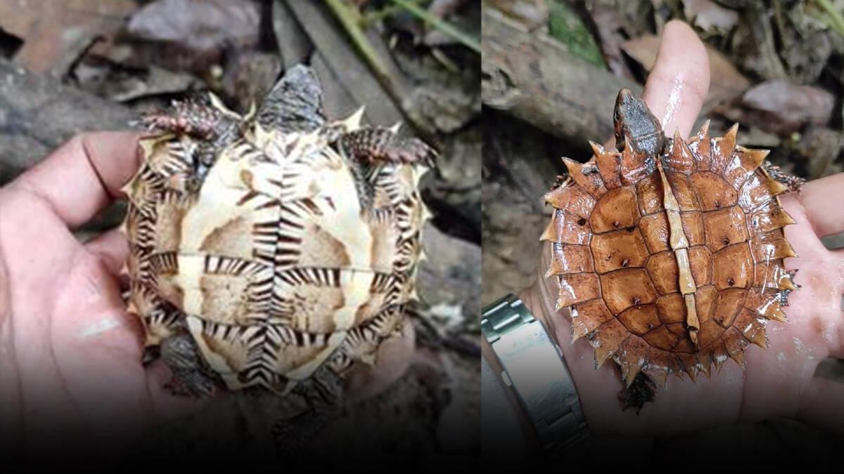 """รู้จัก """"เต่าจักร"""" สัตว์ป่าคุ้มครองใกล้สูญพันธุ์ พบได้ในป่าดิบทางภาคใต้"""