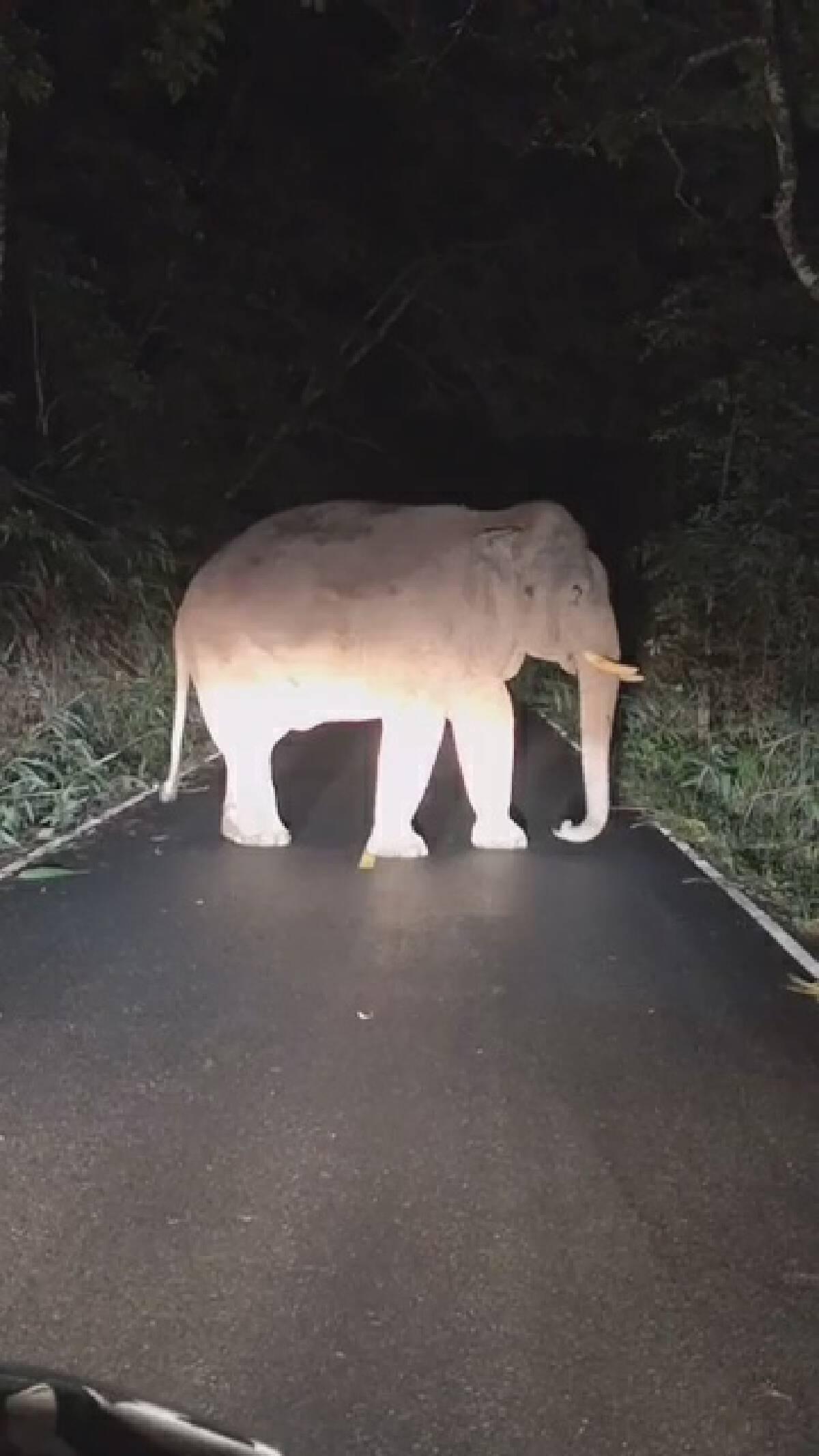 คลิปความน่ารักของเจ้าไททันช้างป่าเขาใหญ่ยืนกินใบไผ่ไม่สนเจ้าหน้าที่