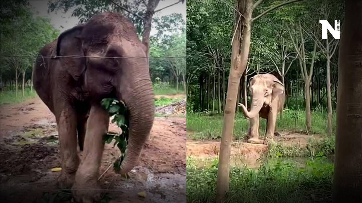 """ช้างป่า """"พังยายเกต"""" นางงามมิตรภาพแห่งป่ารอยต่อ"""