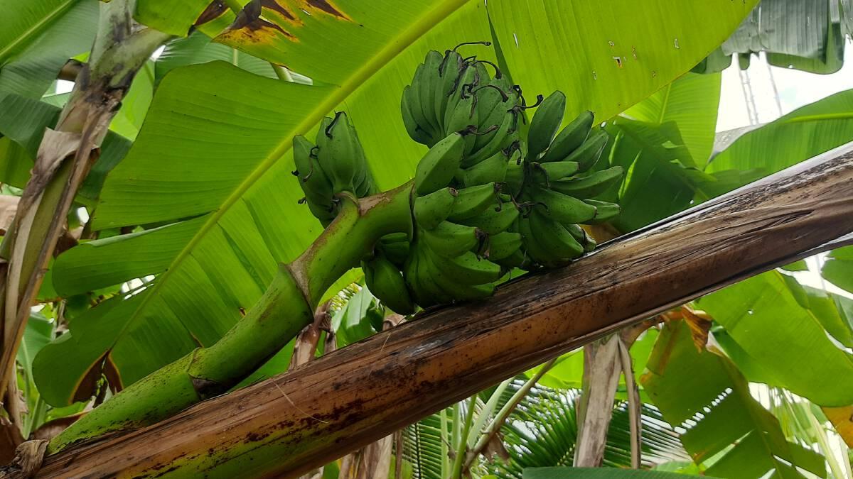 ชาวบ้านแต่งขันธ์ห้าขอหวยกล้วยประหลาดออกเครือกลางลำต้น