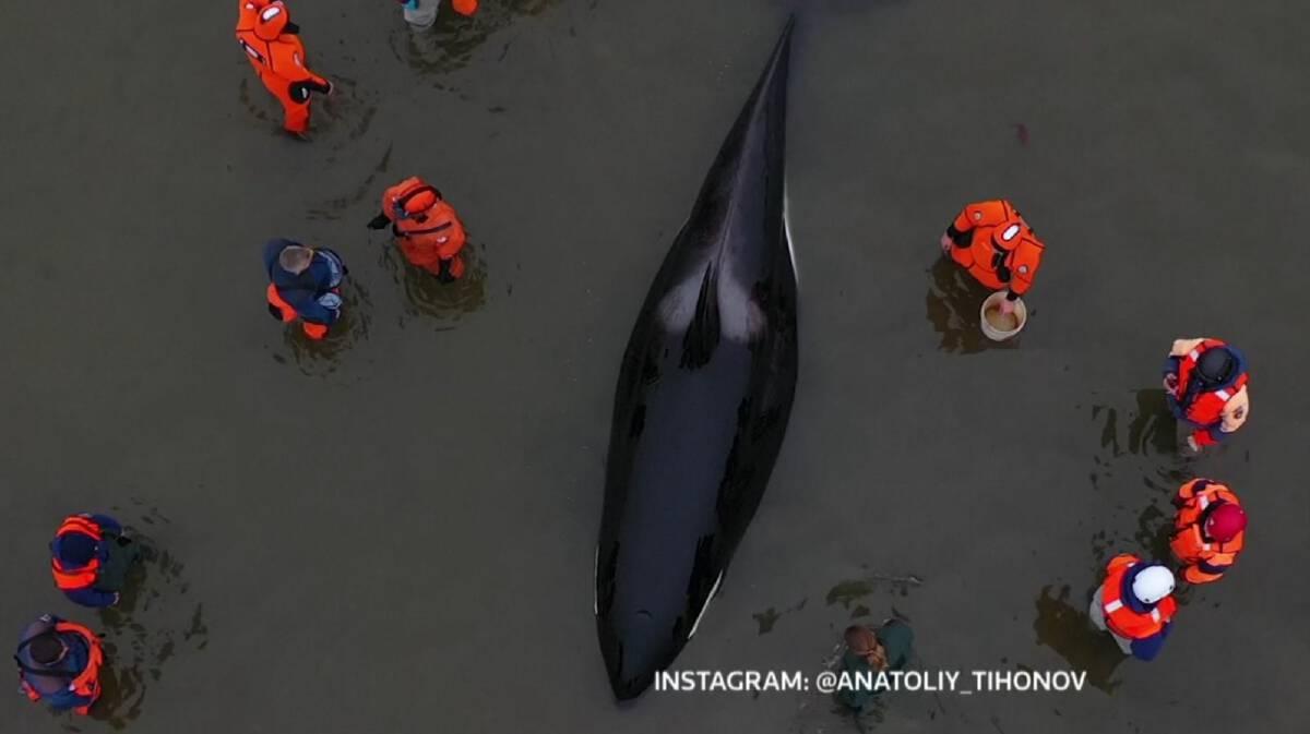 ลูกวาฬเพชรฆาตเกยตื้นชายหาดในรัสเซีย