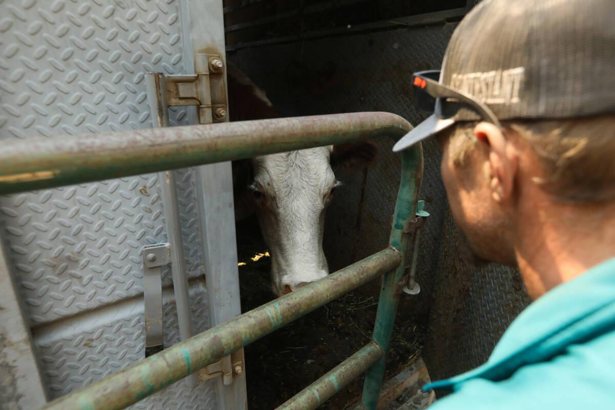 ฝึกวัวฉี่เป็นที่เป็นทางทำได้จริง ลดโลกร้อน