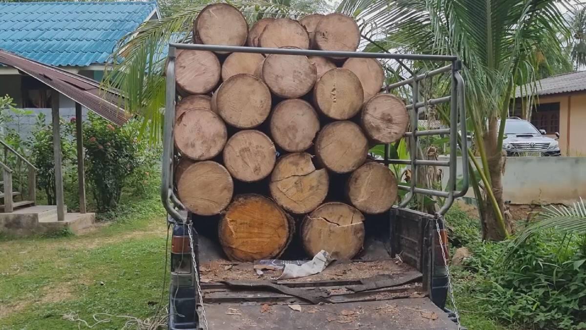 เปิดอาชีพนักล่า ต้นสาคู ทำเงิน 1,600 บาท/ต้น