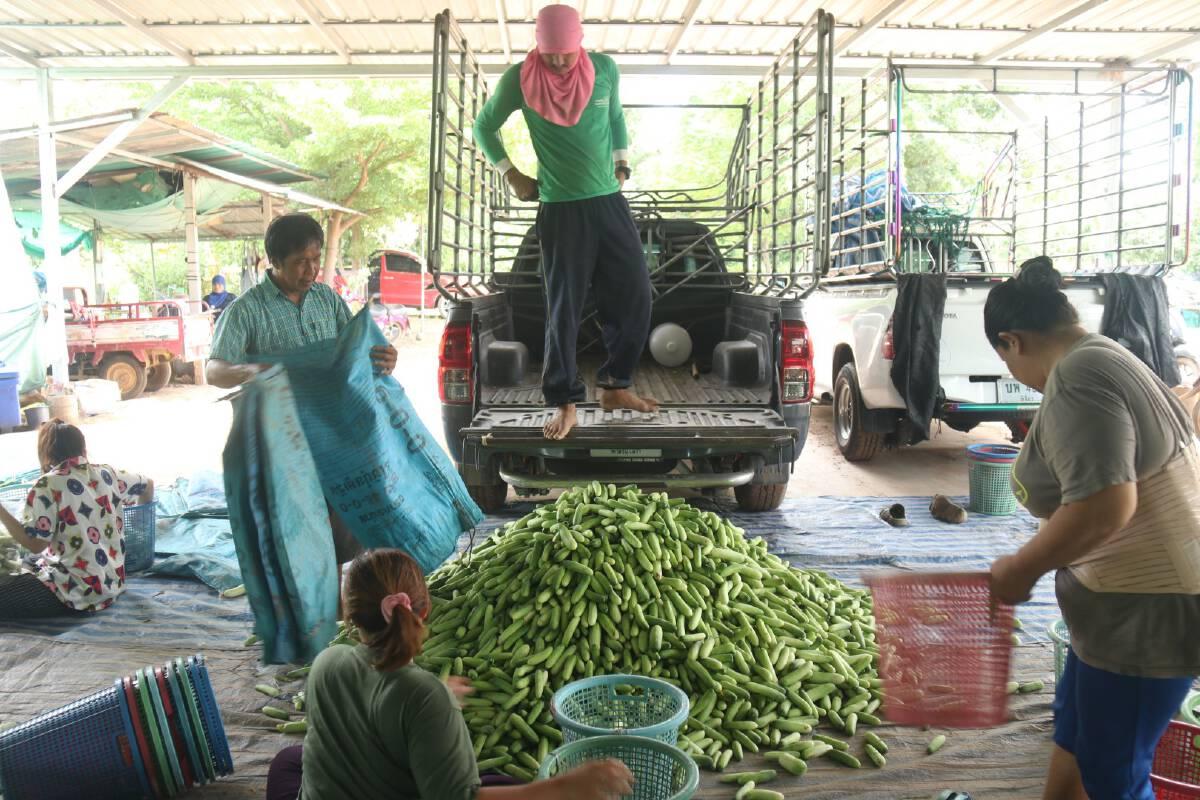 เกษตรกรพิจิตรยิ้ม-แตงกวาราคาปรับเท่าตัว