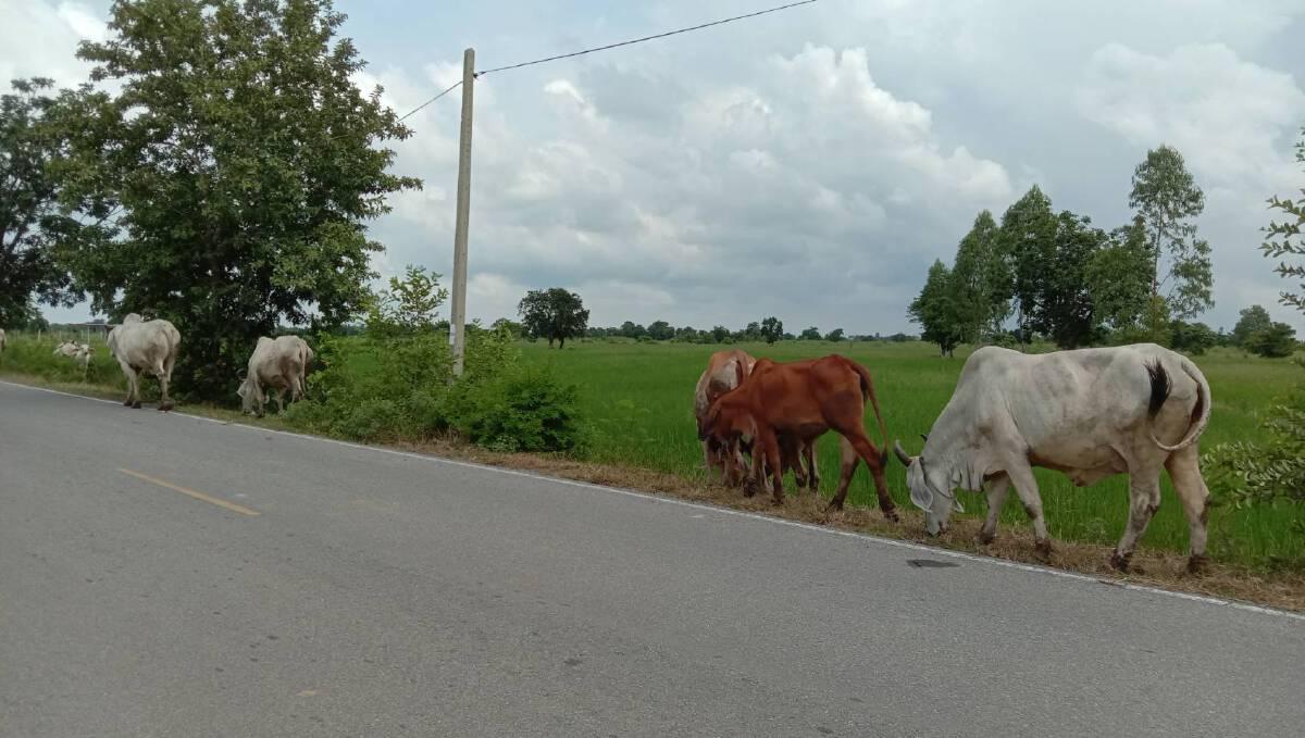 เกษตรกรเเดือดร้อนหนัก น้ำท่วมขาดพื้นที่และหญ้าสดเลี้ยงโคกระบือ