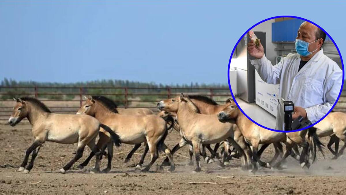 """จีนทำสำเร็จ คืนชีพ """"ม้าป่าเปรวาสกี"""" หลังเคยสูญพันธุ์ไปแล้วครั้งหนึ่ง"""