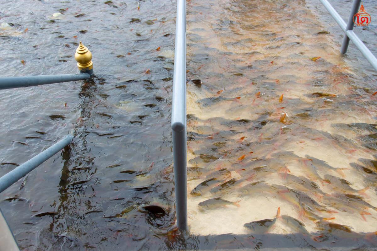 นักท่องเที่ยวให้อาหารปลาที่สะพานท่าน้ำวัดพนัญเชิง